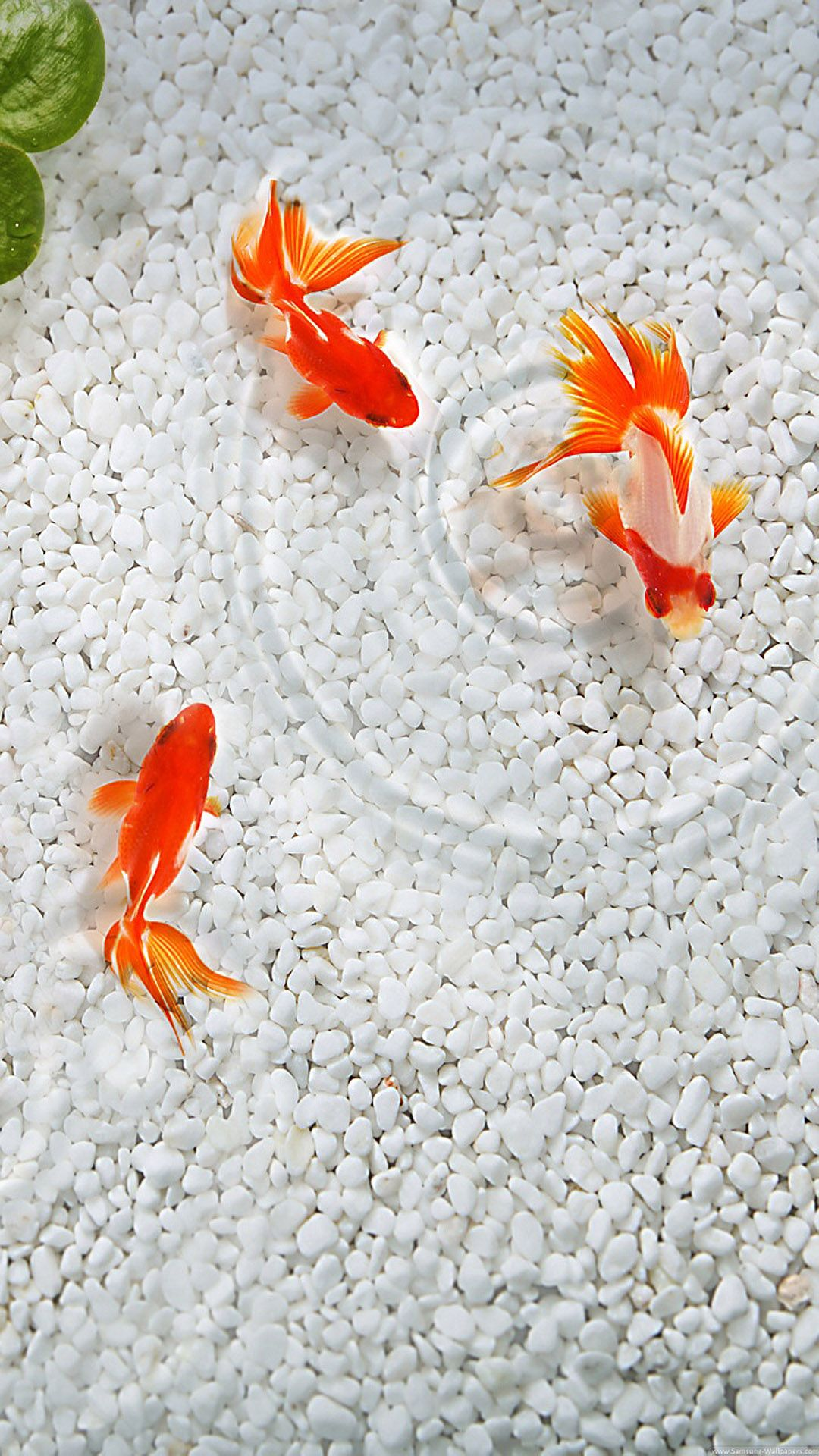 Japanese fish htc one wallpaper pinterest fish for Japanese pond fish