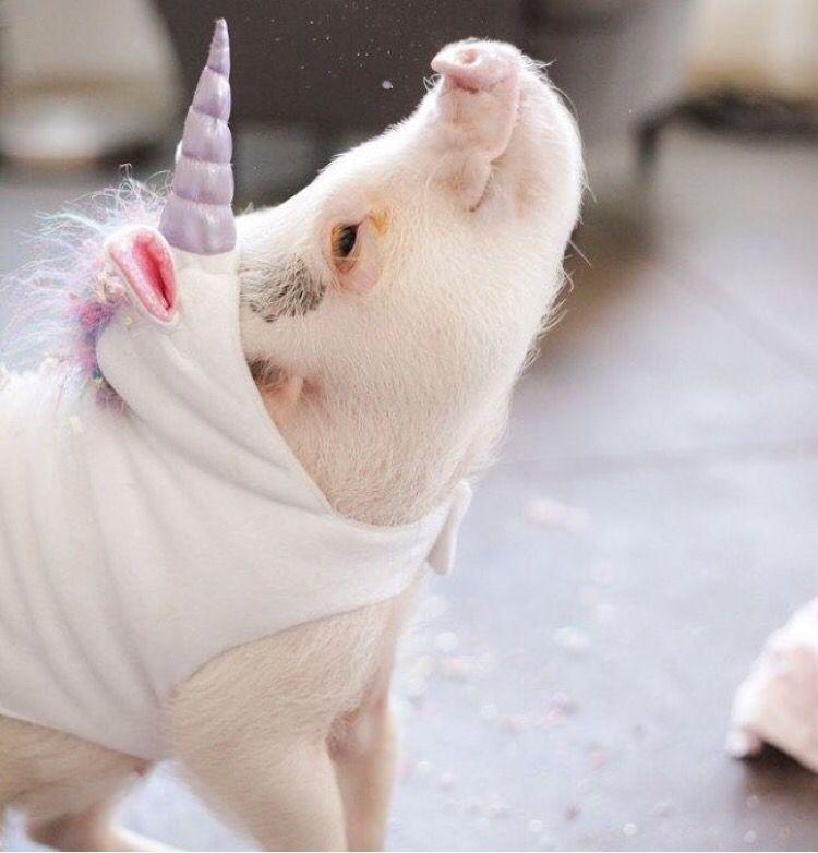 Porco Pigr unicórnio