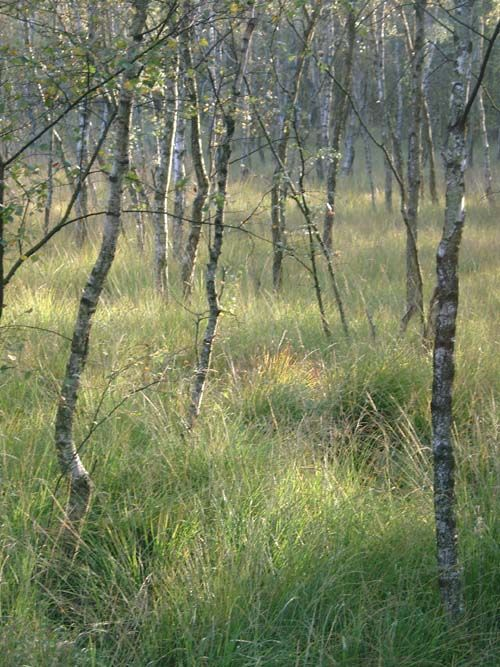 Birches. Believe it or not - this is Hamburg, Germany.   Trees ...