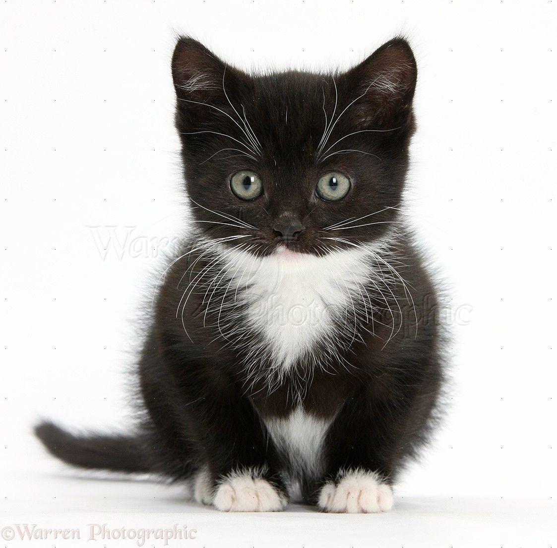 Gingerandwhite Siberian kitten, 16 weeks old, sitting
