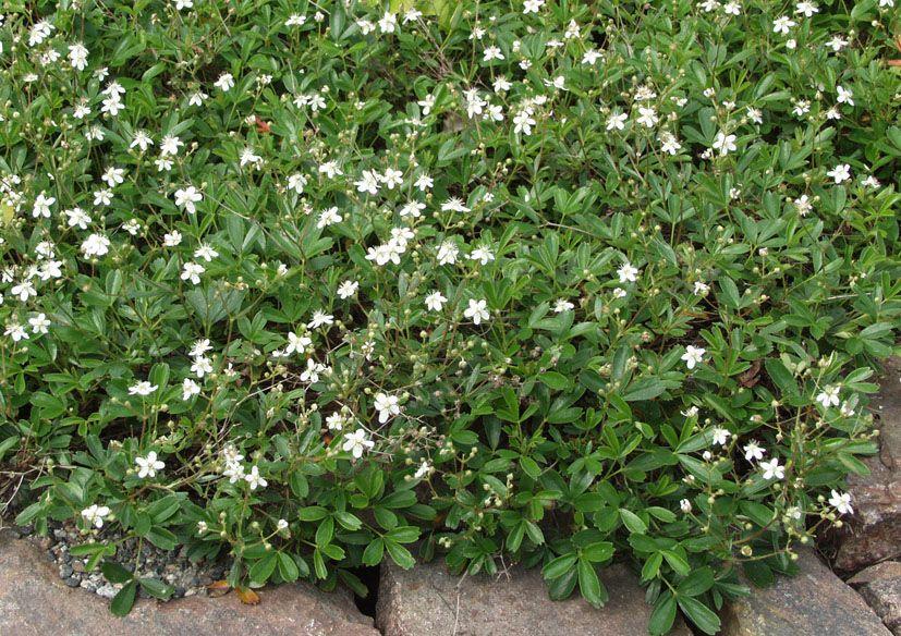 Grönlanninhanhikki - Pinsiön taimisto