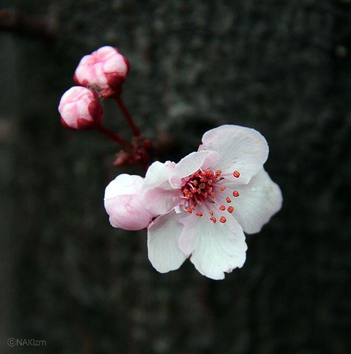 Cherry Blossom  DDD    CopyrightⓒNAKIzm