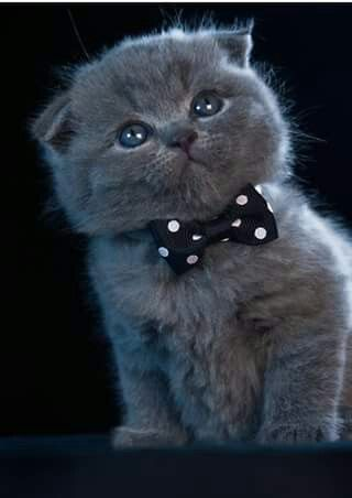 Pinned By Sherry Decker Scottish Fold Kittens Cute Cats Cats