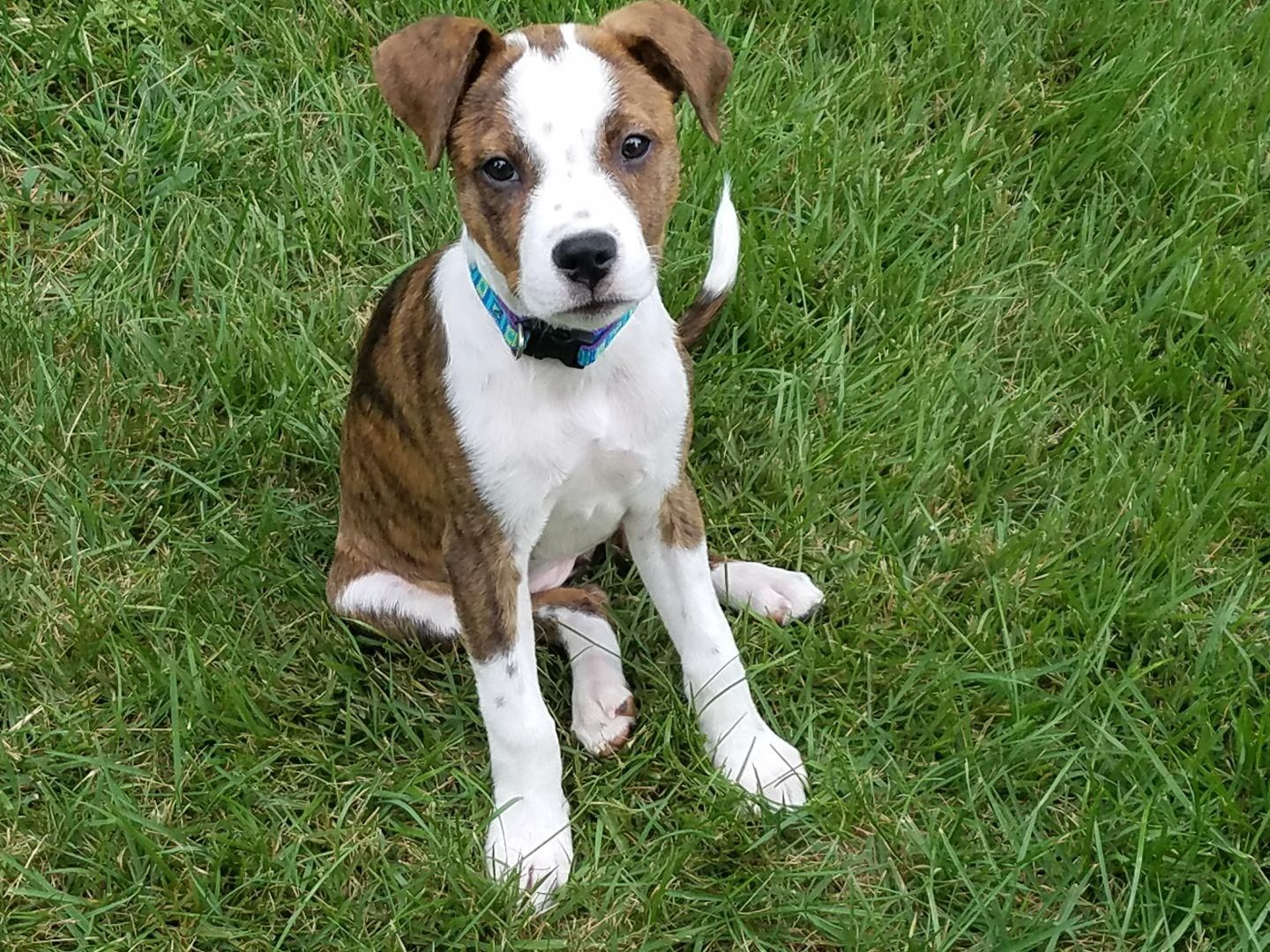 In Memory of Piper. A Boxer/Fox Terrier Mix born May 2018