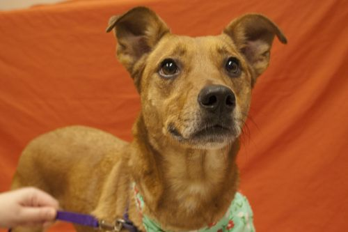 Adopt Sage On Catahoula Leopard Dog Dog Adoption Rhodesian Ridgeback Dog