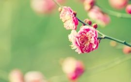 WALLPAPERS HD: Japanese Apricot
