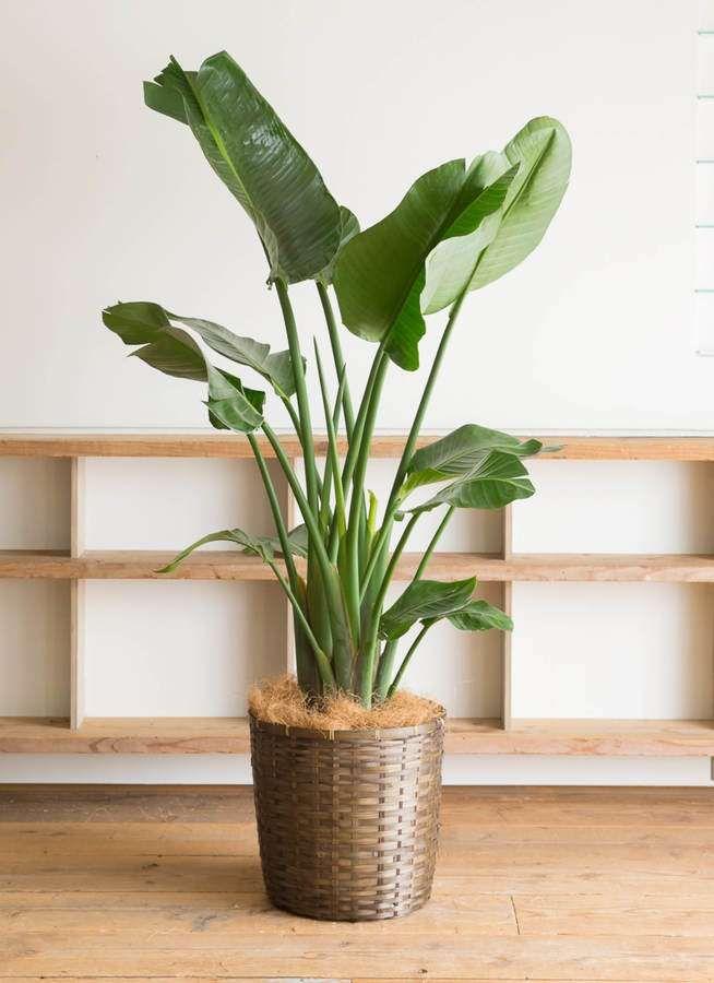 花言葉が素敵なオーガスタの魅力に迫る 観葉植物 花言葉 屋内植物