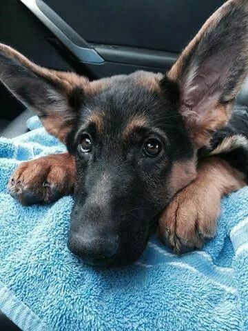 Amazing Down Command With 3 Gsds High Levels Of Distractions In 2020 German Shepherd Puppies Dog Life Gsd Puppies