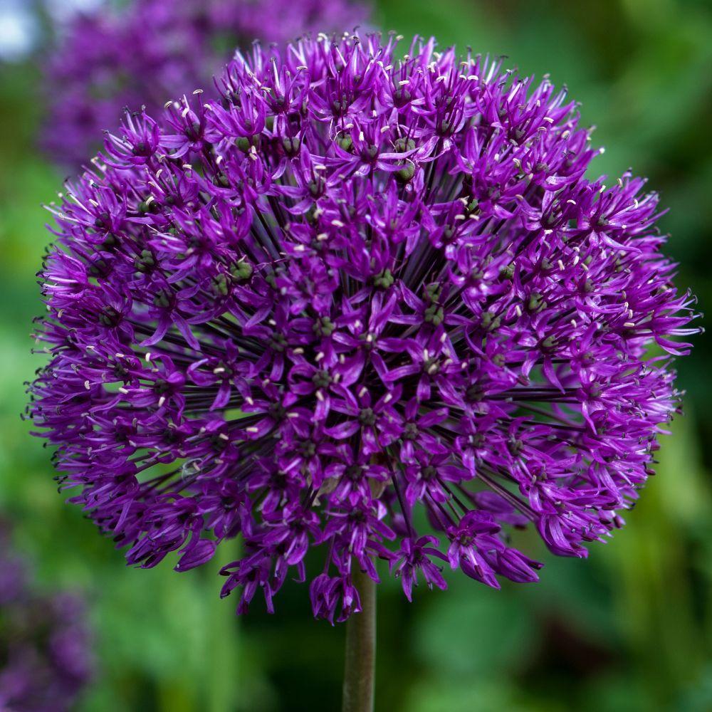 Dutch Garlic Bulbs Crocus Allium Flowers Planting Bulbs Allium