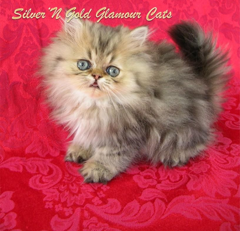 Teacup Cats Teacup Kittens Cat Kitty Site With Images Teacup Kitten Angora Cats Cute Teacup Puppies