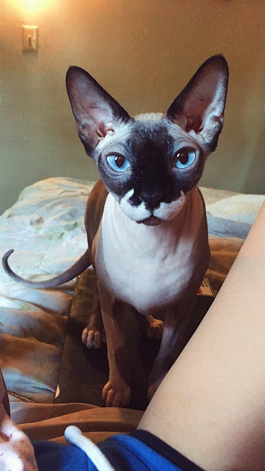 Meet Jiggly Puff My Sphynx Cat Previous Owners Named Her Bc She Was Born Pink Cute Hairless Cat Cat Photography Pretty Cats