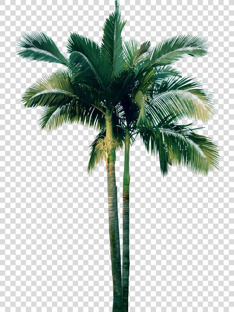 Tree Plant Date Palm Washingtonia Tree Png Tree Adonidia Arecaceae Arecales Attalea Speciosa Trees To Plant Tree Photoshop Palm Tree Png