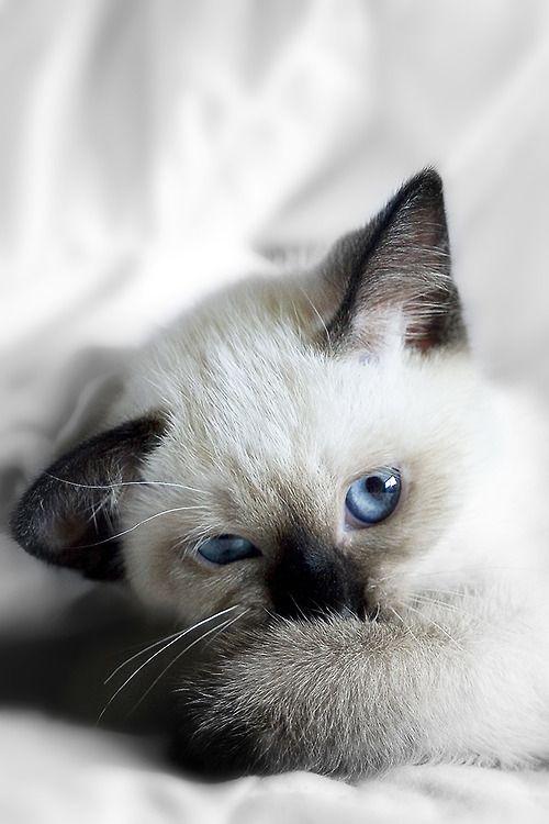 Petit chat blanc cr me aux pattes museau et oreilles gris brun fonc et aux yeux bleus - Yeux bleu fonce ...
