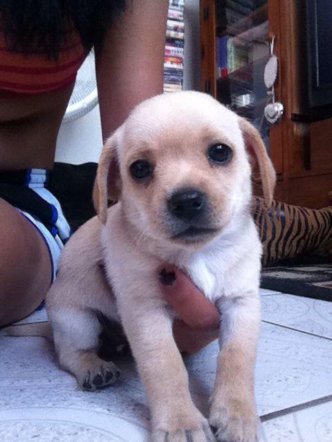 Golden Retriever Pug And Chihuahua Mix Puppy Mix Pug Mix Dog
