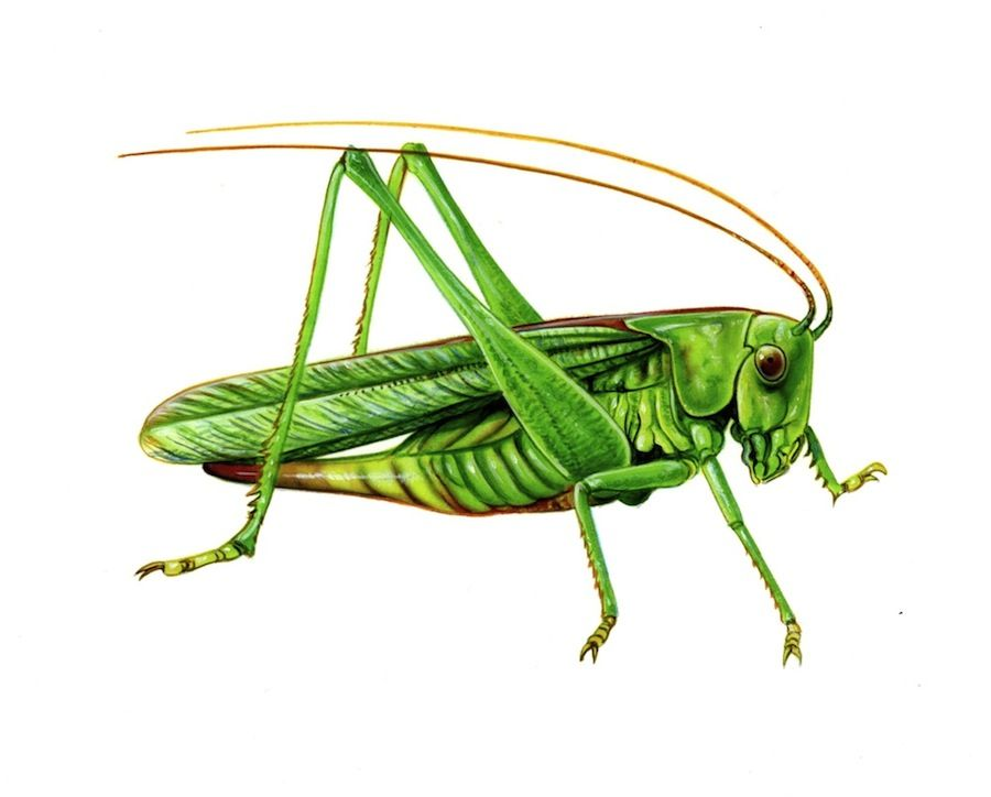 scientific illustration orthoptera - Google Search ...