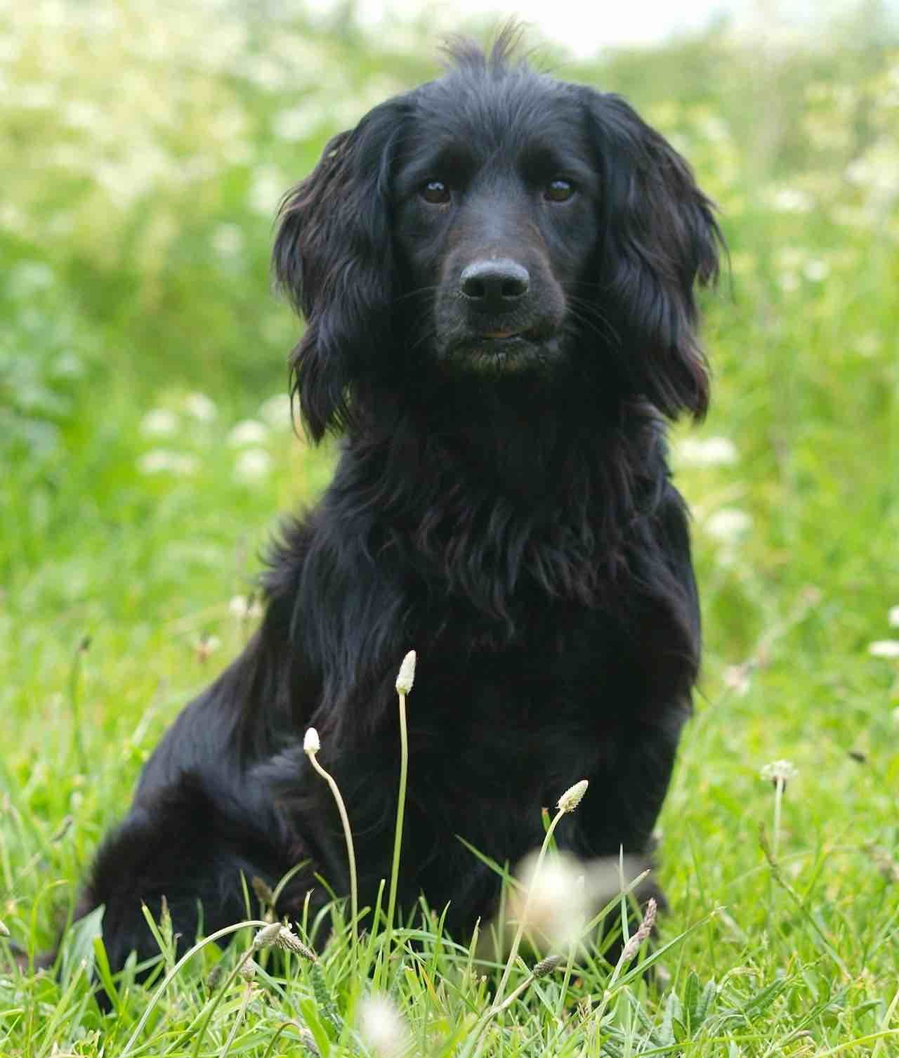 American Cocker Spaniel - Dog Breed info, images, videos ...