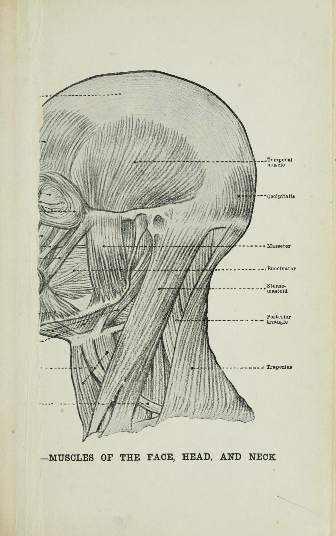 Human anatomy for art students by Fripp, Alfred Downing (1865 ...