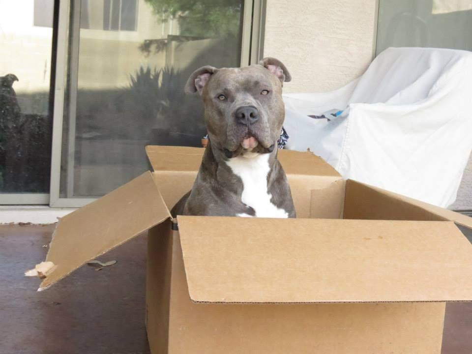 Sabre Blue Brindle One Year Old Amstaff Apbt Pitbull Pitbull Terrier American Pitbull Terrier Puppies And Kitties