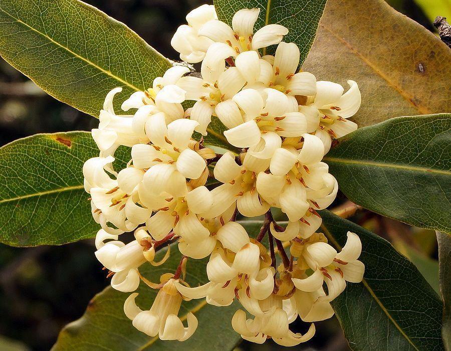White murraya paniculata flowers flowers 2 pinterest flowers white murraya paniculata flowers mightylinksfo