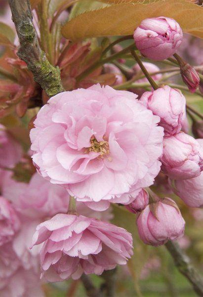 Buy Prunus Kanzan Japanese Flowering Cherry In The Uk Cherry Tree Magnolia Box Prunus