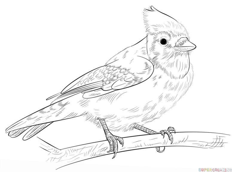 How to draw a Blue Jay step by step. Drawing tutorials for