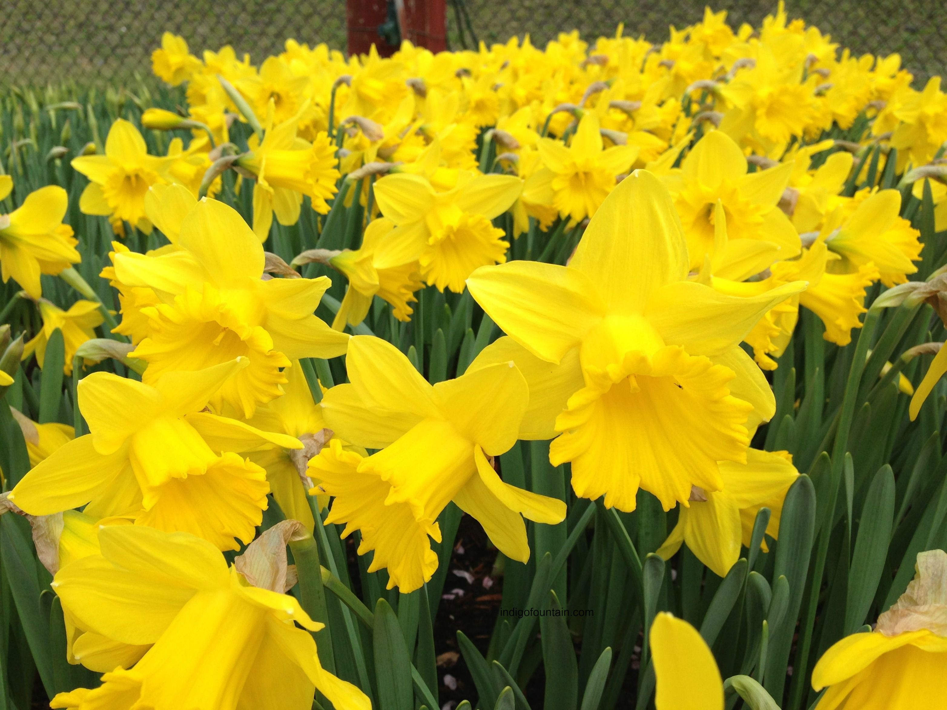 One Of The First Flowers Of Spring Daffodils Are For Chivalry As