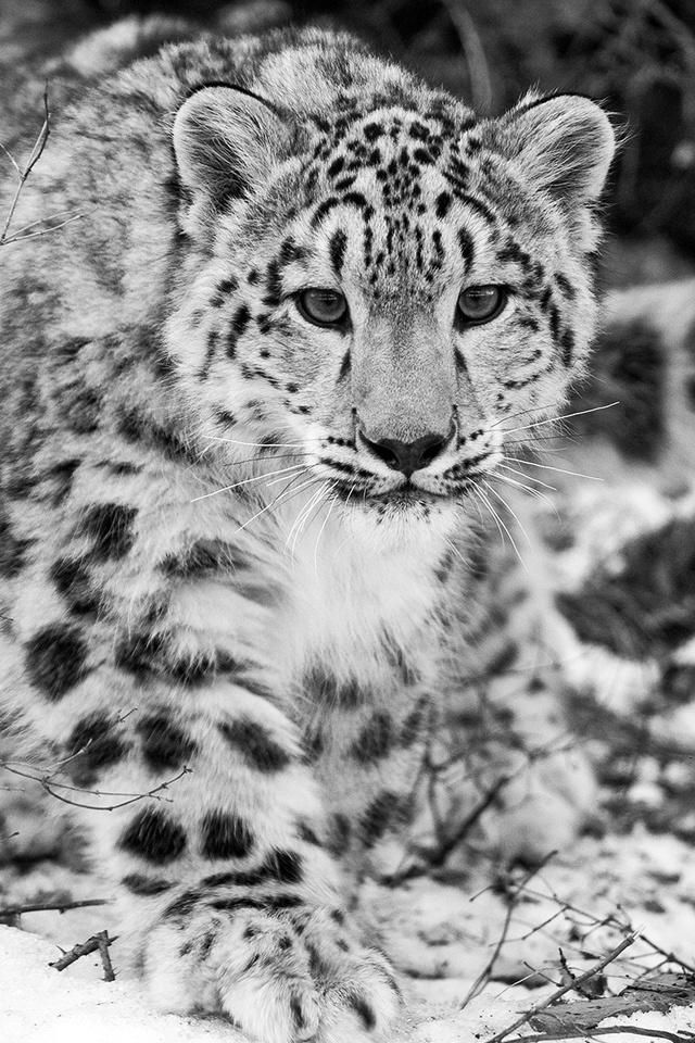 Snow Leopard Iphone Wallpaper