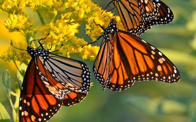 Бабочка монарх (данаида монарх): фото и описание, миграция ...