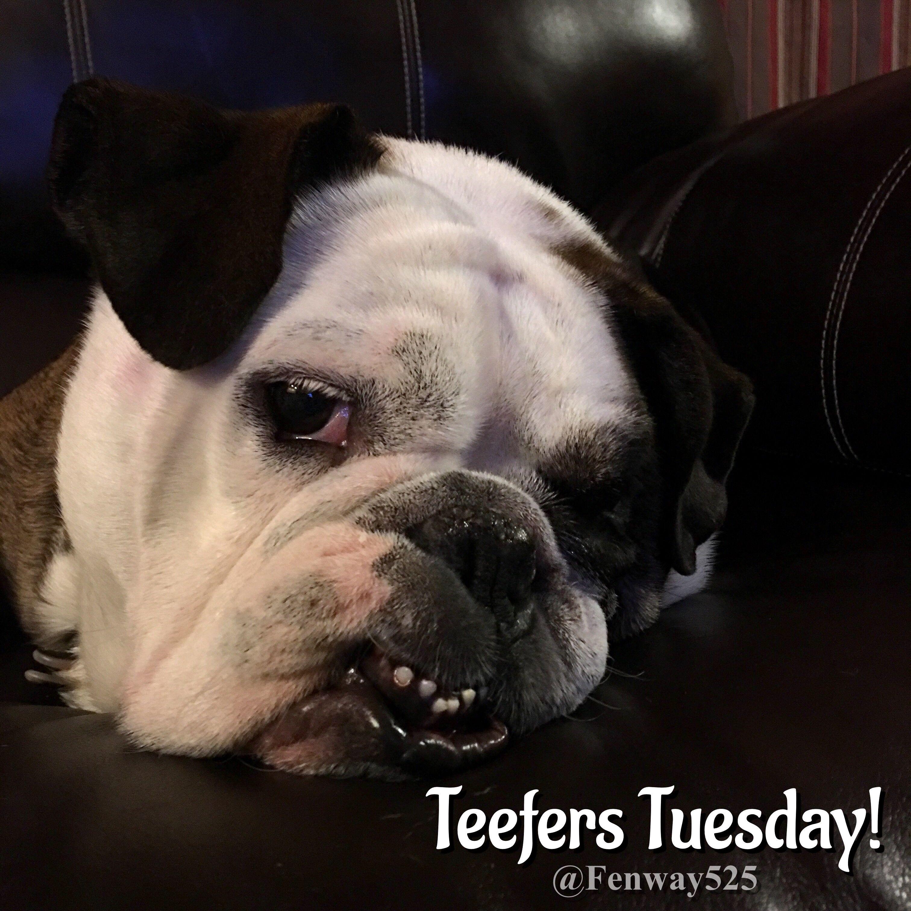 07Nov17 Fenway Bulldogs Teeth Bulldog, French