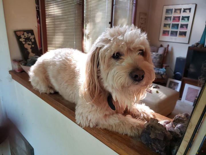Lost dog minneapolis golden retrieverpoodle miniature