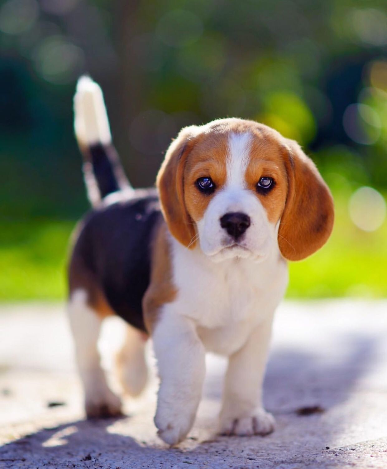 Pin By Rengin On A N I M A L S Cute Beagles Cute Baby Animals Cute Dogs