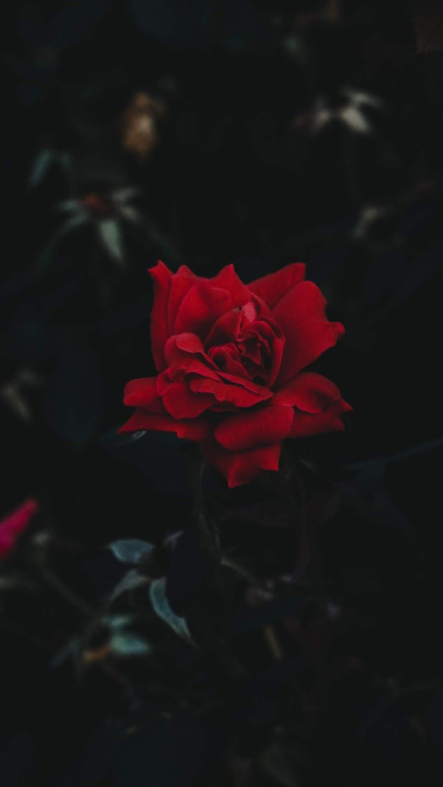 Red Rose Wallpaper Iphone Android Background Followme Red Roses Wallpaper Dark Background Wallpaper Rose Wallpaper
