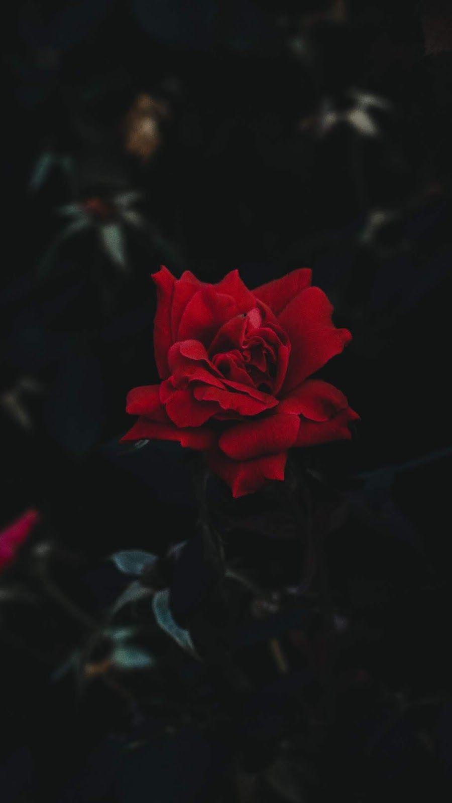 Red Rose Rose Wallpaper Wallpaper Iphone Roses Red Roses Wallpaper