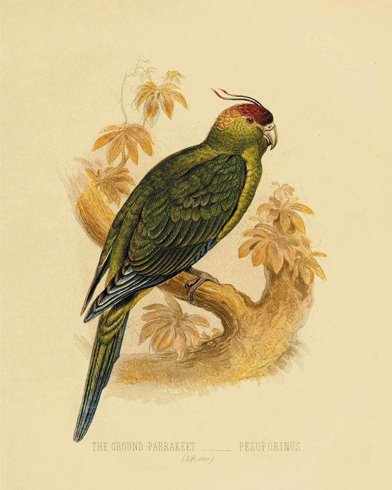 Parrot Vintage Bird Print Old Prints Nature print Vintage prints ...