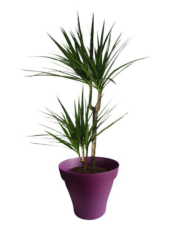 Dracaena marginata 2 troncs avec cache pot violet   Plantes d ...