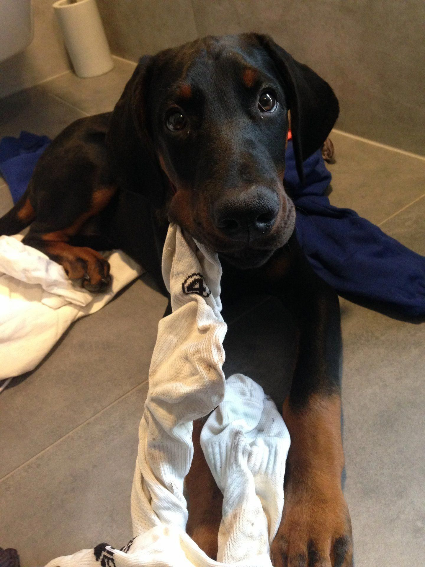 The Traits We All Love About The Doberman Puppy Dobermansofig