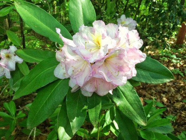 Growing Rhododendrons In The South Flores Y Algo Mas Plantas