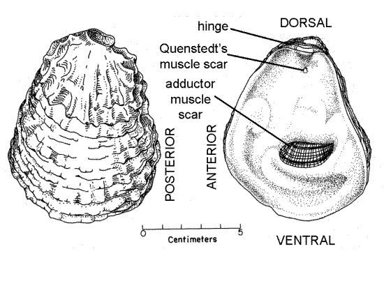 bivalve shell anatomy