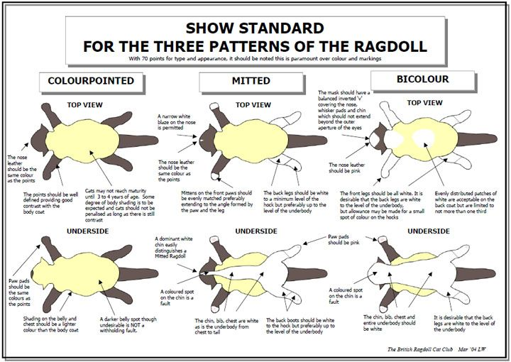 Ragdoll Standard Of Points Ragdoll Cat Ragdoll Cat Colors Ragdoll