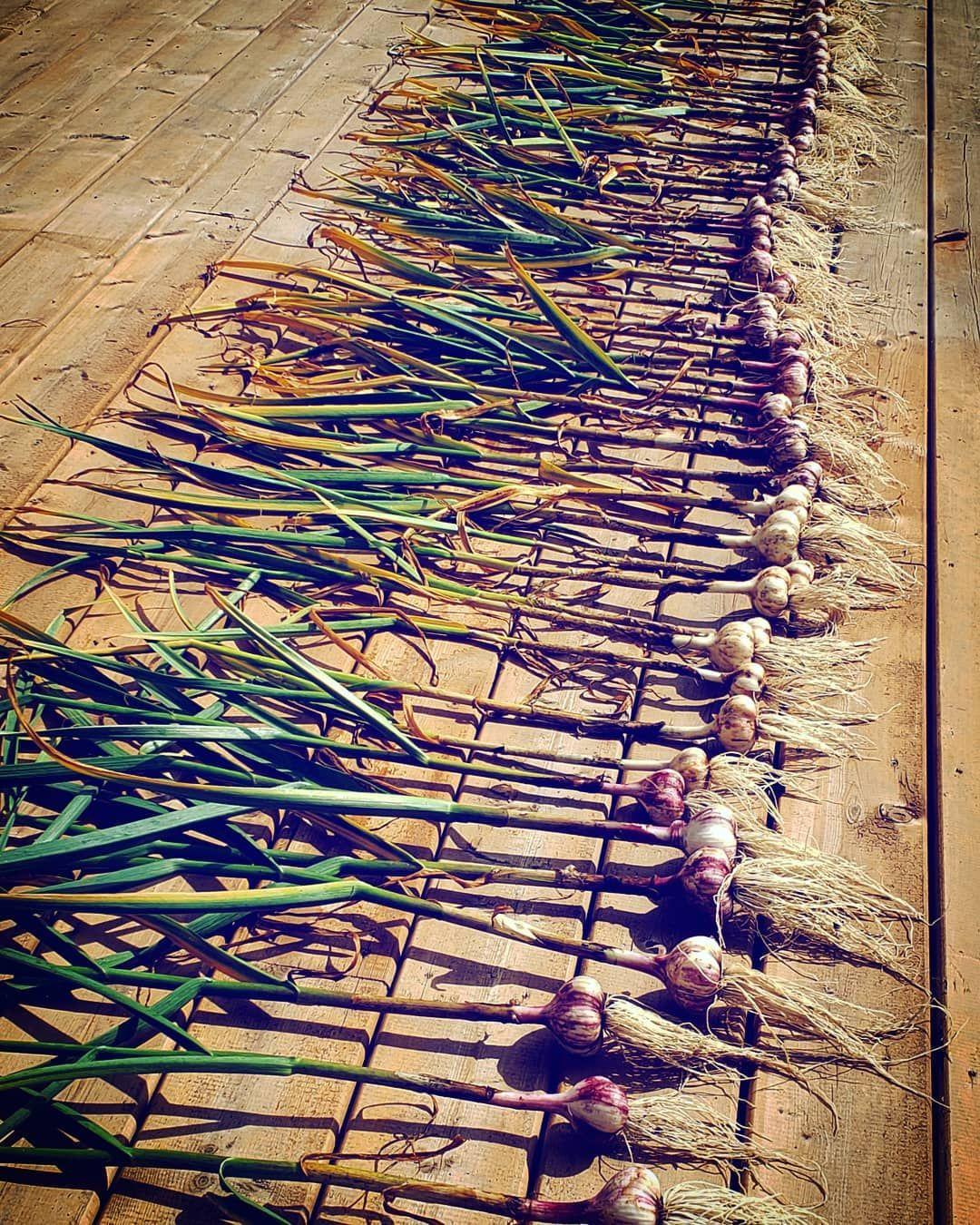 Garlic Harvested!!!