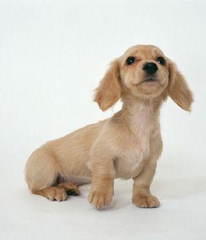 Dachshund Breed Info Characteristics Hypoallergenic No Dachshund Puppy Miniature Dachshund Puppies Dachshund Breed