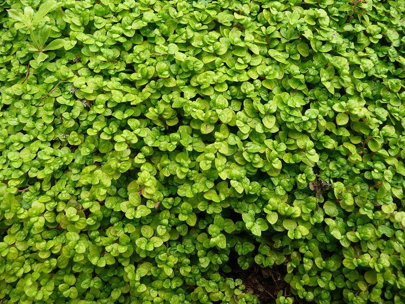 Soleirolia soleirolii 02 by Line1 - Soleirolia soleirolii – Wikipédia, a enciclopédia livre