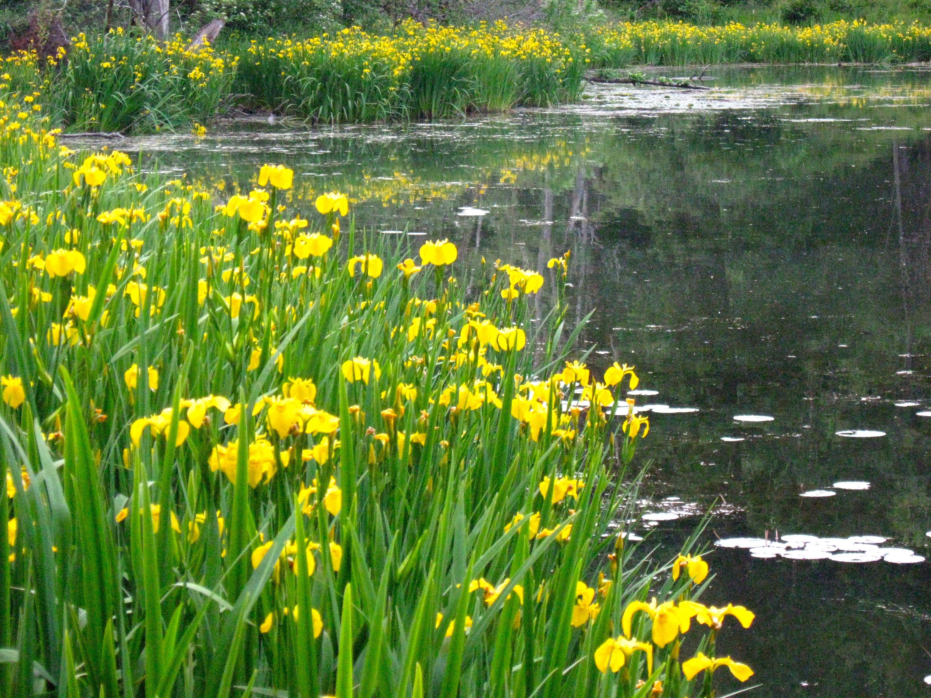 Iris growing around pond flowers pinterest pond iris and flowers iris growing around pond izmirmasajfo Choice Image