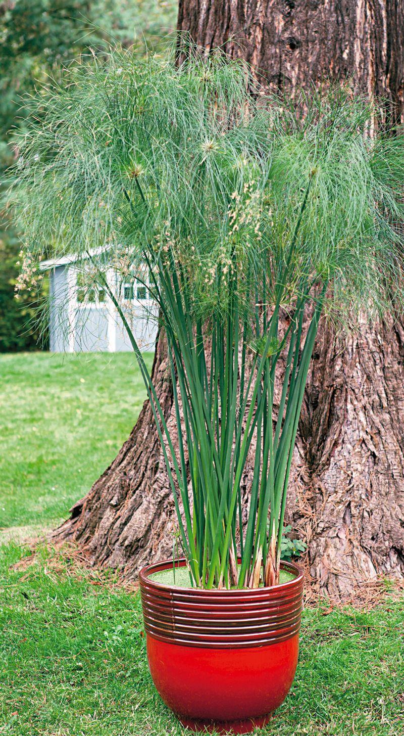 un papyrus d egypte en pot flowers pots