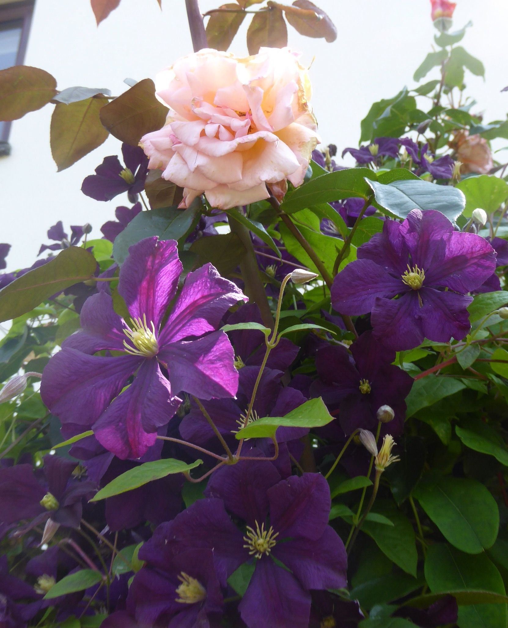 clematis 39 etoile violette 39 a viticella and climbing. Black Bedroom Furniture Sets. Home Design Ideas