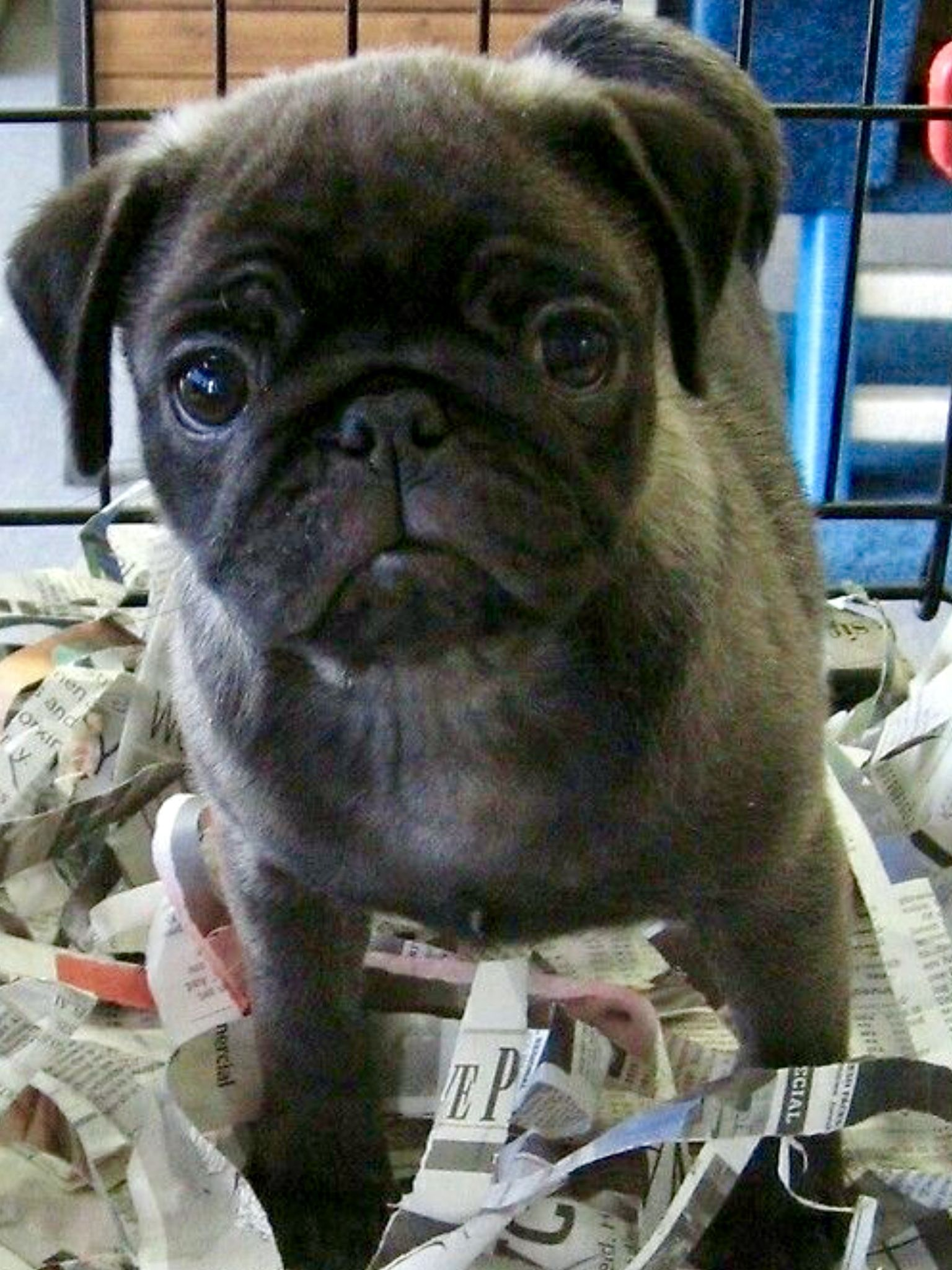 Pin By Elaine Caragianis On Snug As A Pug Baby Pugs Pugs