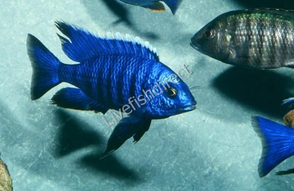 Here Is Where We Buy Our Cichlids Located In Draper Utah We Love It Cichlids Freshwater Aquarium Fish African Cichlids