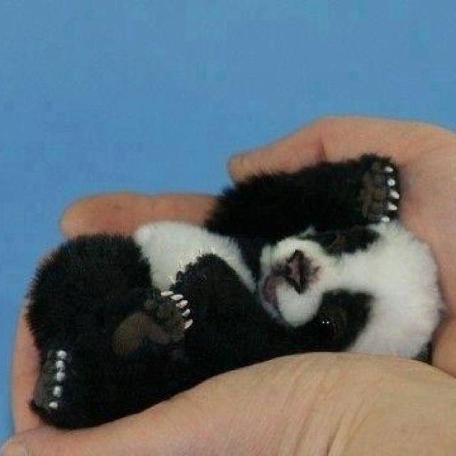 Cute panda @Dawn Cameron-Hollyer Loyd this is wat we need
