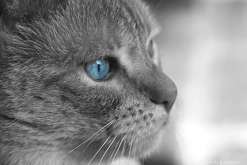 Love The Gray With The Blue Cat With Blue Eyes Grey Kitten Warrior Cats