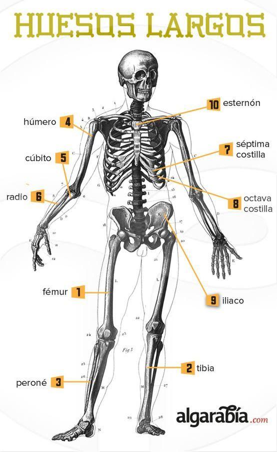 Los huesos más largos del cuerpo humano. | Educación | Pinterest ...